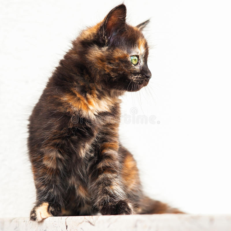 European young cat. Tortoiseshell or calico cat royalty free stock photo
