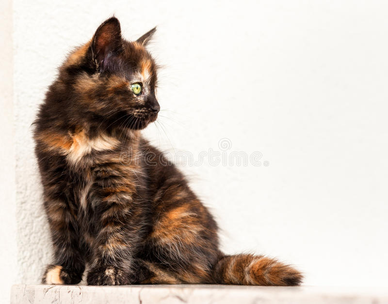 European young cat. European young. cat. Tortoiseshell or calico cat stock photography