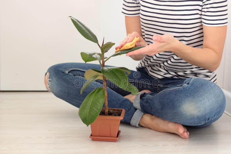 European young woman caring for a houseplant in a pot. girl gently wipes the green leaves of the ficus home tree in white room on stock images