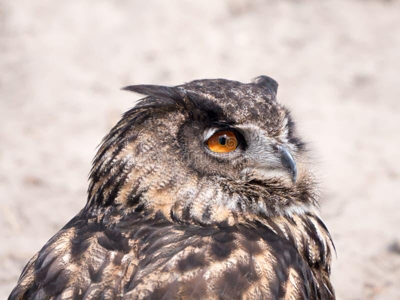 Europees-Aziatisch Eagle Owl royalty-vrije stock fotografie