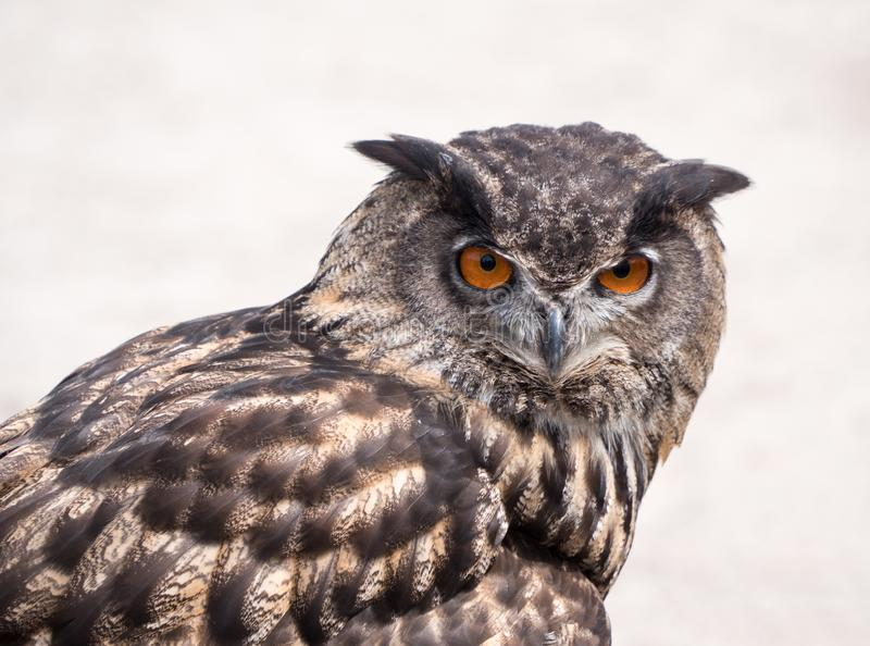 Europees-Aziatisch Eagle Owl stock foto