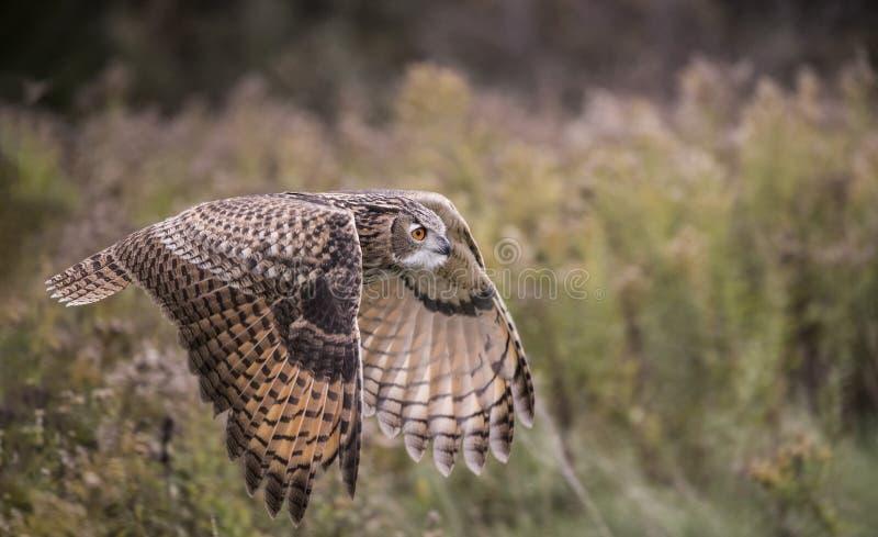 Europees-Aziatisch Eagle Owl stock afbeeldingen