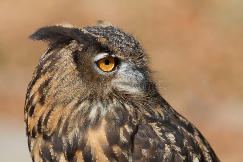 Europees-Aziatisch Eagle Owl stock foto's