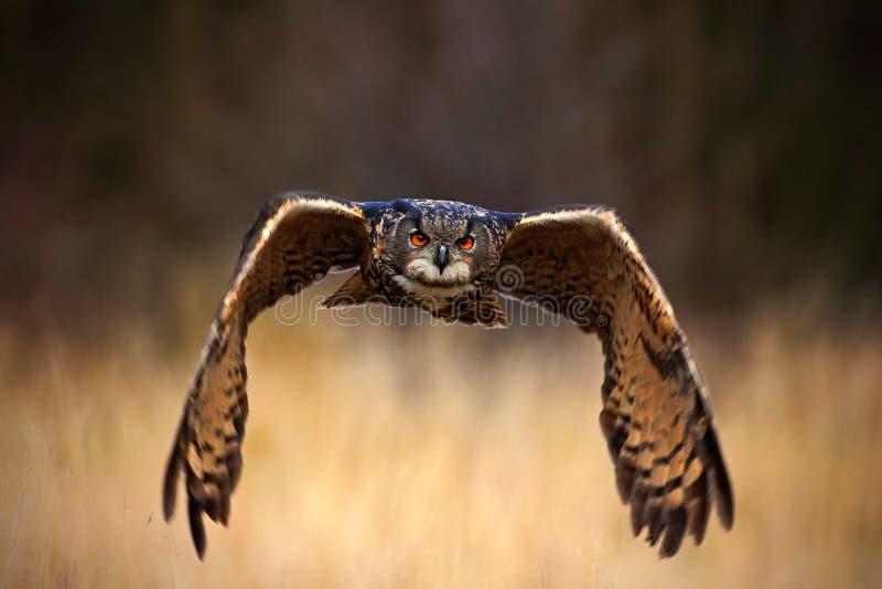 Europees-Aziatisch Eagle Owl, Bubo-bubo, vliegende vogel met open vleugels in grasweide, bos op de achtergrond, dier in de aardha stock afbeeldingen