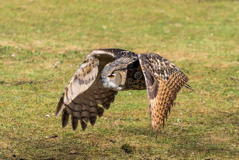 Europees-Aziatisch Eagle Owl, Bubo-bubo in een Duits aardpark royalty-vrije stock foto