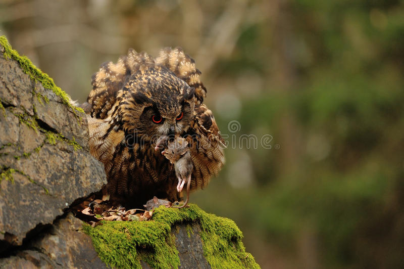 Europees-Aziatisch Eagle Owl die zich op rots met mos bevinden royalty-vrije stock fotografie
