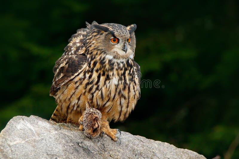 Europees-Aziatisch Eagle Owl met dodenegel in klauw, die op steen zitten Het wildscène van aard Vogel met open vleugel Uil met va royalty-vrije stock fotografie
