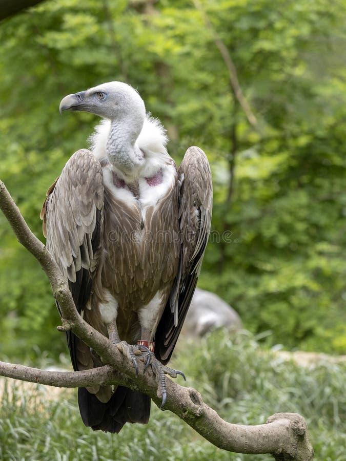 Europees-Aziatisch Griffon Vulture, Gyps-fulvus, het grootste vliegende roofdier van Europa stock fotografie