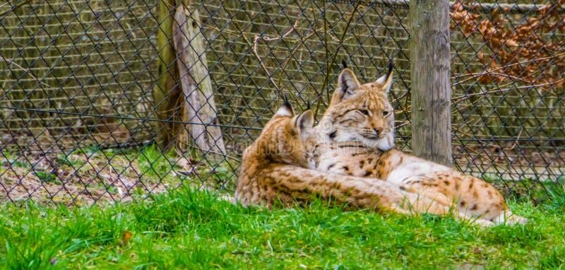 Europees-Aziatisch lynxpaar die samen in het gras, Wilde katten van Eurasia leggen stock fotografie