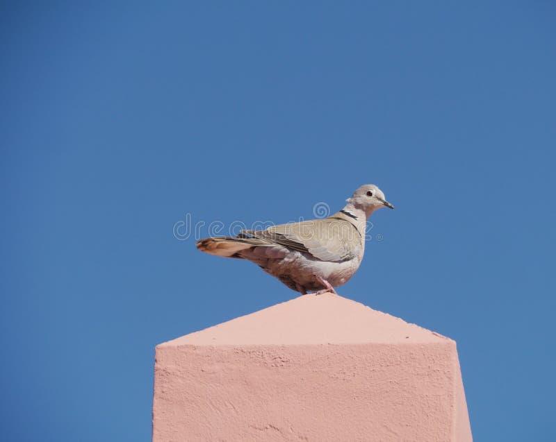 Europees-Aziatische collared duif op een muur royalty-vrije stock fotografie
