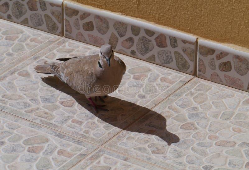 Europees-Aziatische collared duif op een terras stock afbeelding