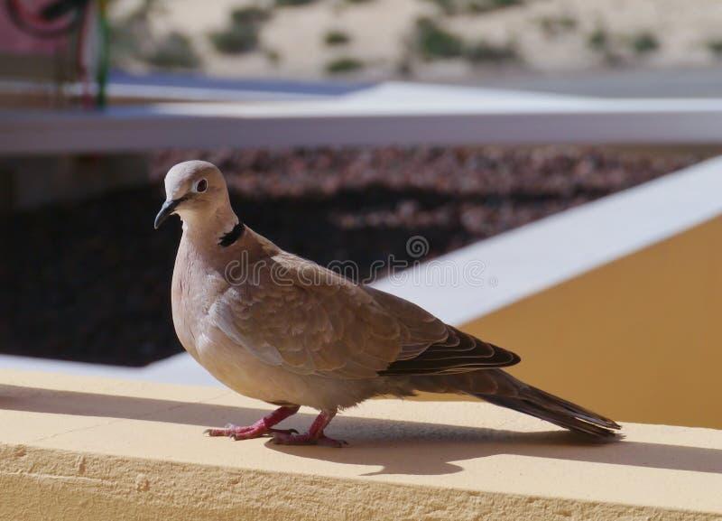 Europees-Aziatische collared duif op een terras stock fotografie