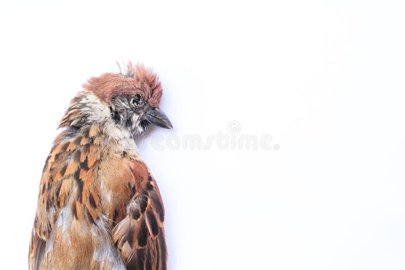 Europees-Aziatische de vogel witte achtergrond van de boommus, enkel volkomen stock afbeeldingen