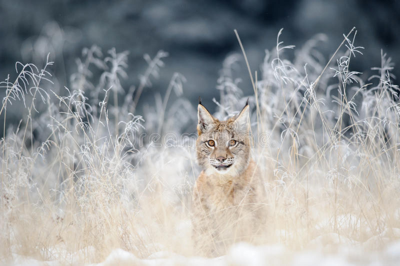 Europees-Aziatische die lynxwelp in hoog geel gras met sneeuw wordt verborgen stock foto's
