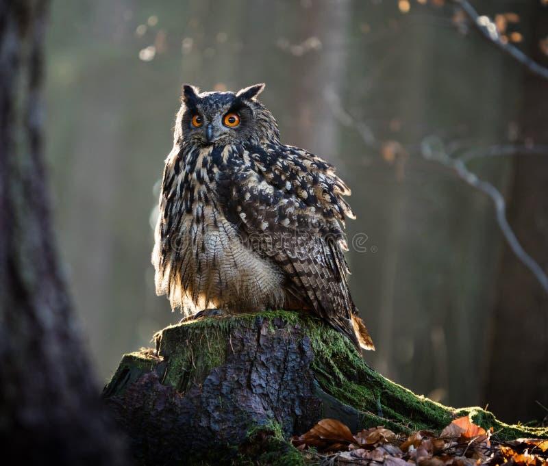 Europees-Aziatische Eagle Owl Bubo Bubo-zitting op de stomp royalty-vrije stock fotografie