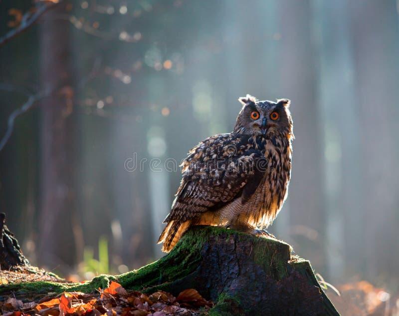 Europees-Aziatische Eagle Owl Bubo Bubo-zitting op de stomp in bos, c royalty-vrije stock foto's