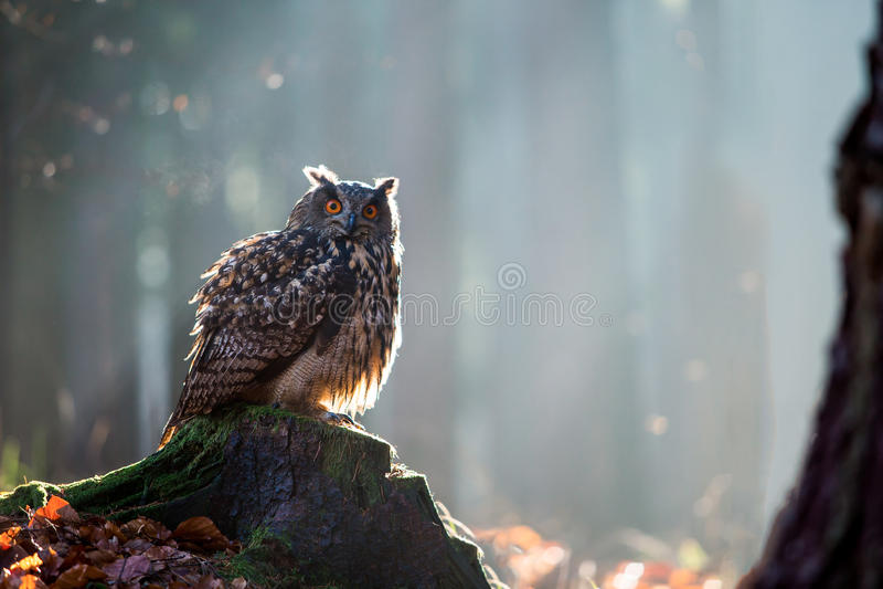 Europees-Aziatische Eagle Owl Bubo Bubo-zitting op de stomp, close-up, w stock afbeelding