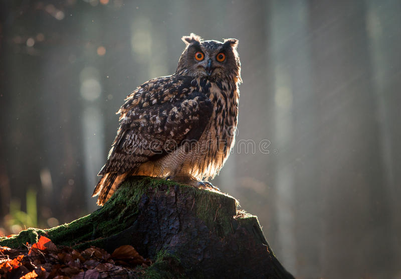 Europees-Aziatische Eagle Owl Bubo Bubo-zitting op de stomp, close-up, w royalty-vrije stock fotografie