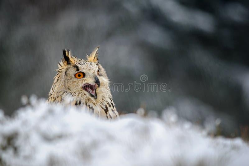 Europees-Aziatische Eagle Owl-zitting ter plaatse met sneeuw en schreeuw stock fotografie