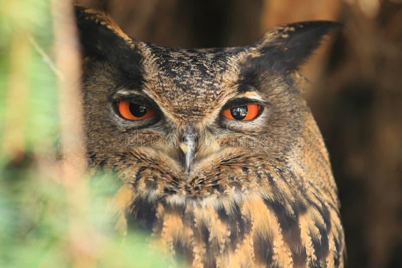 Download Europees-Aziatische Eagle-uil Stock Afbeelding - Afbeelding bestaande uit adelaar, europees: 39110843