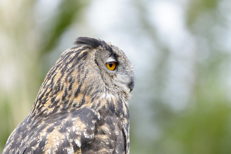 Europees-Aziatische Eagle-Uil royalty-vrije stock foto