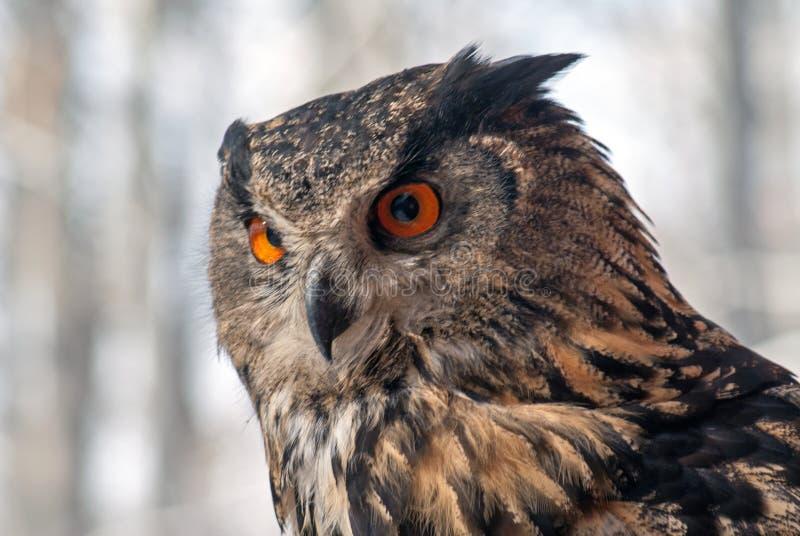 Europees-Aziatische Eagle-uil bubobubo royalty-vrije stock afbeeldingen