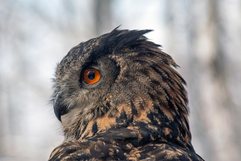 Europees-Aziatische Eagle-uil bubobubo royalty-vrije stock afbeelding