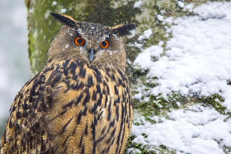 Europees-Aziatische Eagle-uil bubobubo royalty-vrije stock foto's