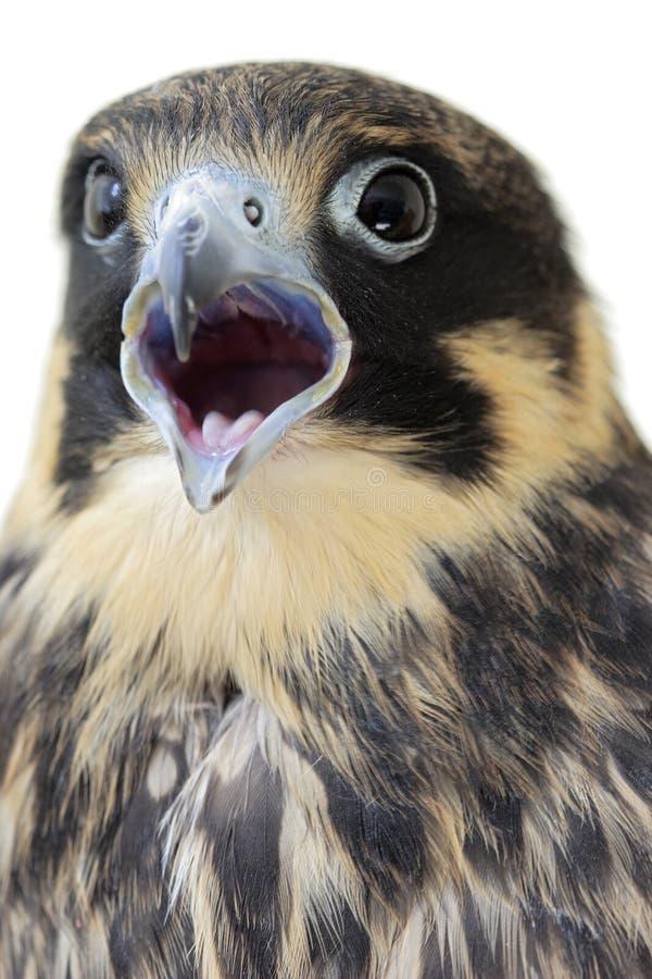 Europees-Aziatische Hobby (Falco Subbuteo) stock foto