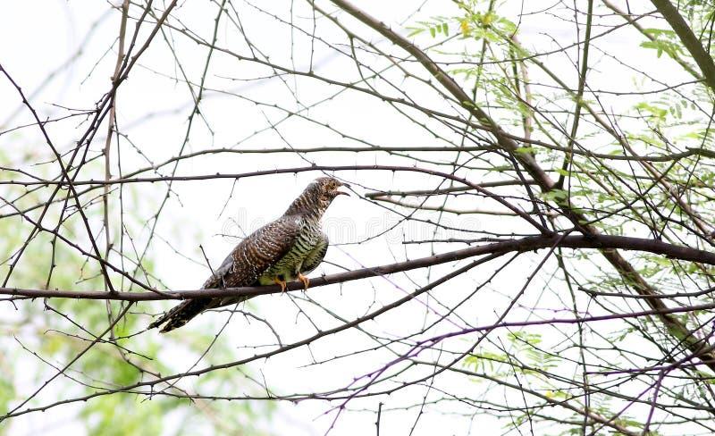 Europees-Aziatische Koekoek stock foto's