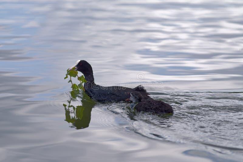 Europees-Aziatische koet met hun kuiken die in een water van een meer zwemmen royalty-vrije stock fotografie