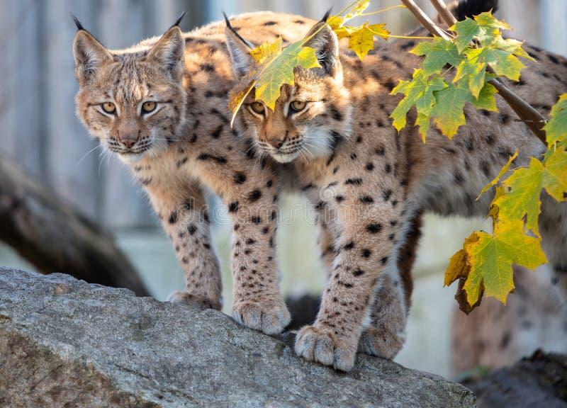 Europees-Aziatische Lynx royalty-vrije stock afbeeldingen