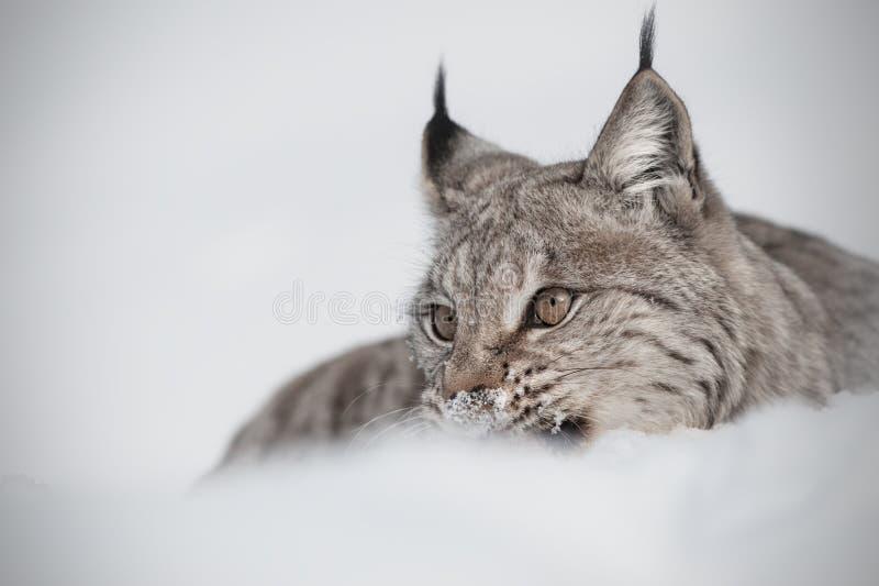 Europees-Aziatische Lynx Royalty-vrije Stock Fotografie