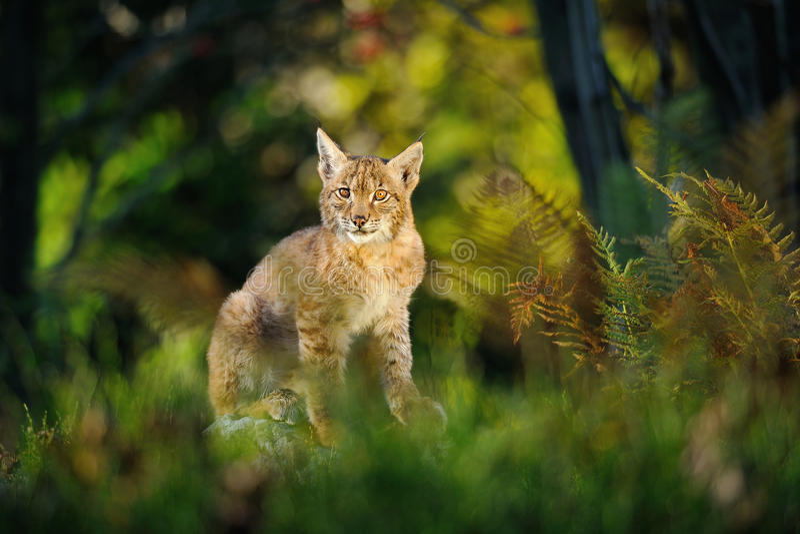 Europees-Aziatische lynx in bos stock afbeeldingen