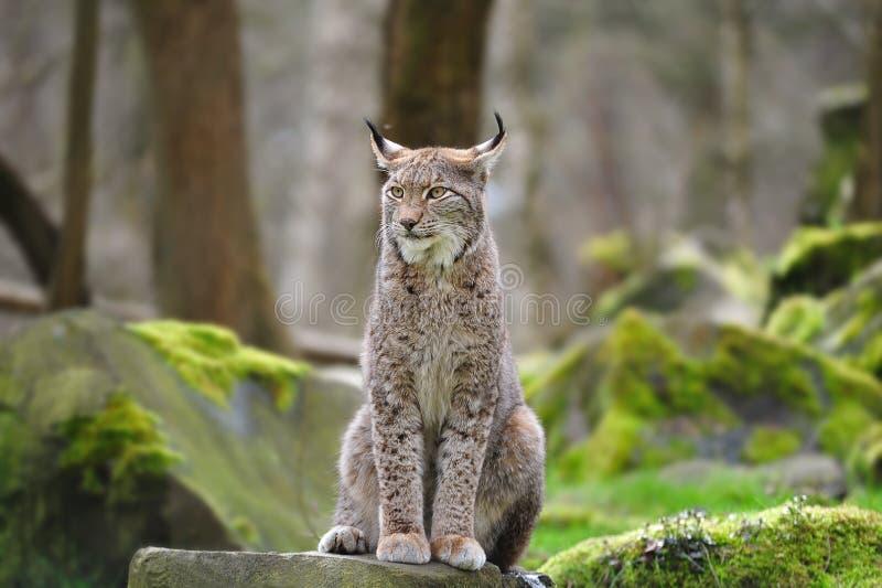 Europees-Aziatische lynx (de lynx van de Lynx) royalty-vrije stock afbeeldingen