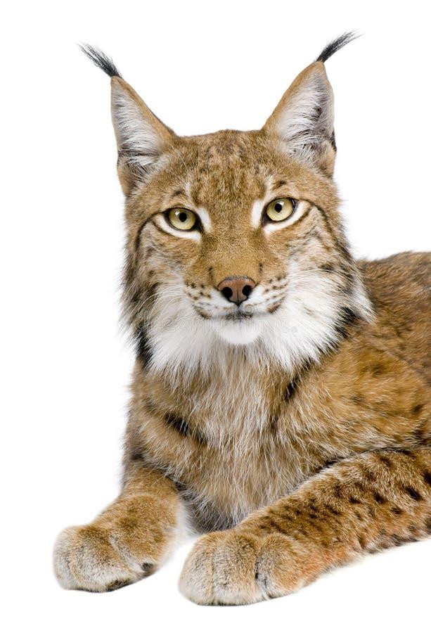 Europees-Aziatische Lynx - de lynx van de Lynx (5 jaar oud) stock afbeelding