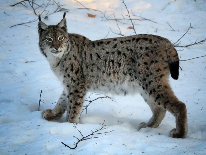 Europees-Aziatische Lynx in de Winter stock foto