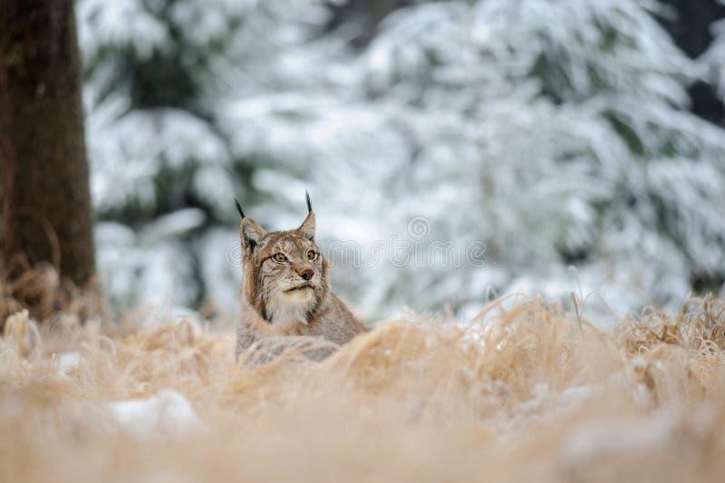 Europees-Aziatische lynx die op grond in de wintertijd liggen stock foto's