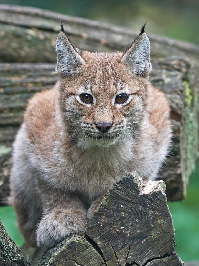 Europees-Aziatische lynx (Lynxlynx) stock foto