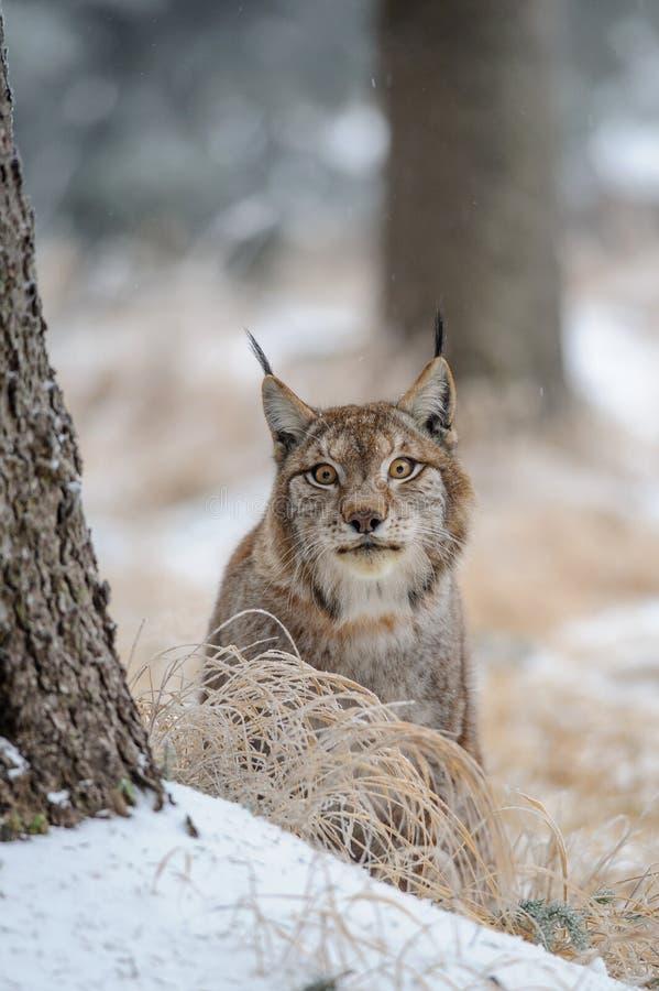 Europees-Aziatische lynx tussen bomen in de wintertijd royalty-vrije stock foto's