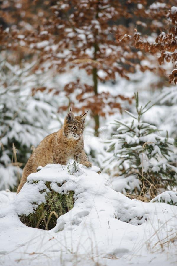 Europees-Aziatische lynxwelp die in de winter kleurrijk bos liggen met sneeuw stock afbeeldingen