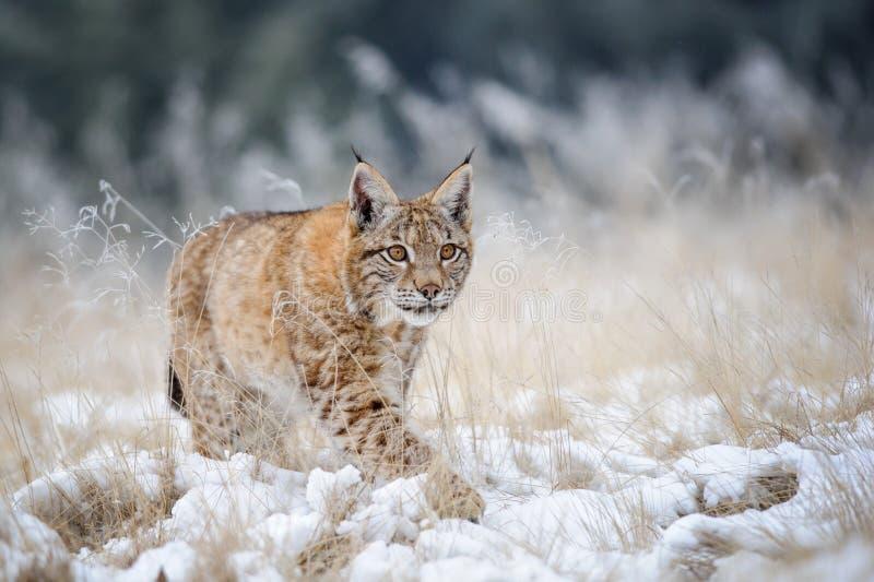 Europees-Aziatische lynxwelp die op sneeuw met hoog geel gras op achtergrond lopen stock foto