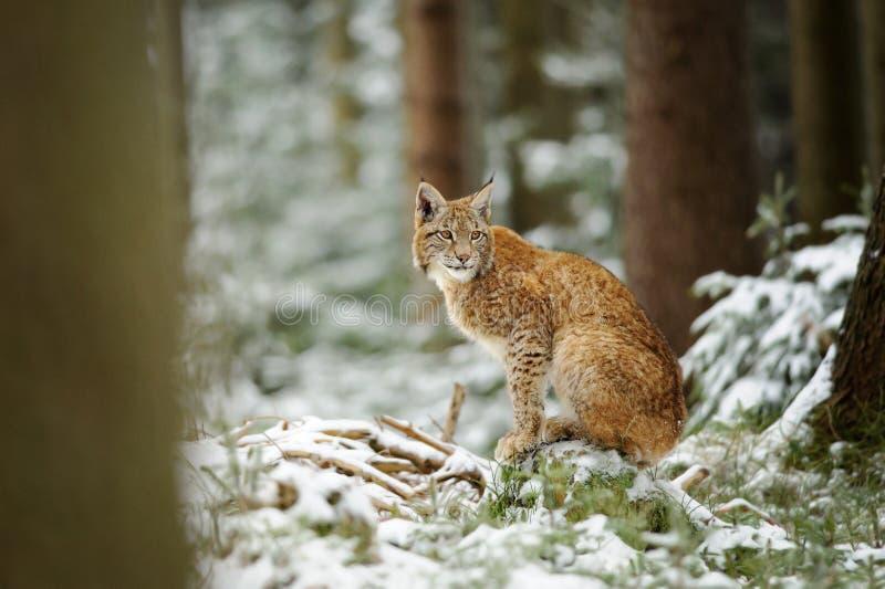 Europees-Aziatische lynxwelp die zich in de winter kleurrijk bos bevinden met sneeuw royalty-vrije stock foto's