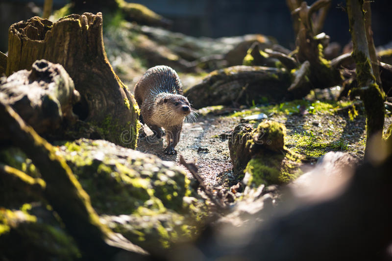 Europees-Aziatische otter royalty-vrije stock foto's