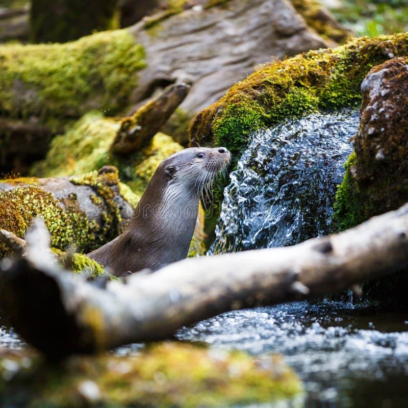 Europees-Aziatische otter (Lutra-lutra) royalty-vrije stock afbeelding