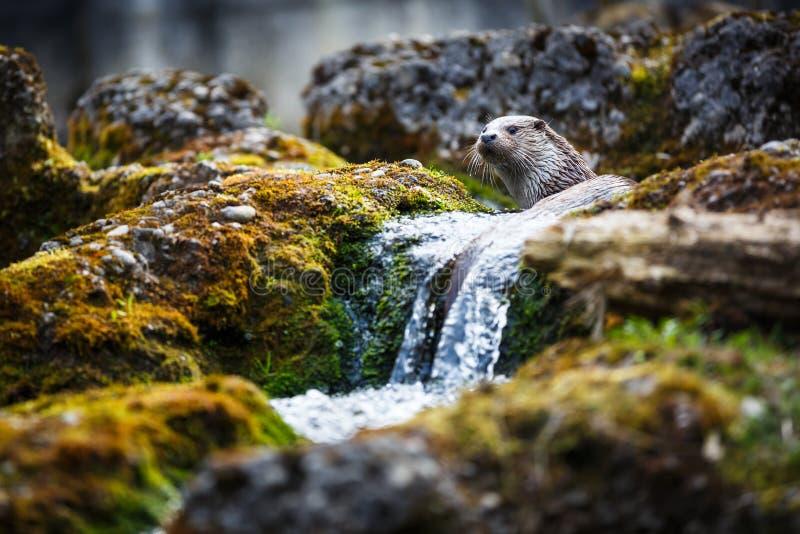 Europees-Aziatische otter (Lutra-lutra) stock afbeelding