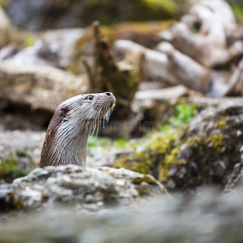 Europees-Aziatische otter (Lutra-lutra) royalty-vrije stock foto