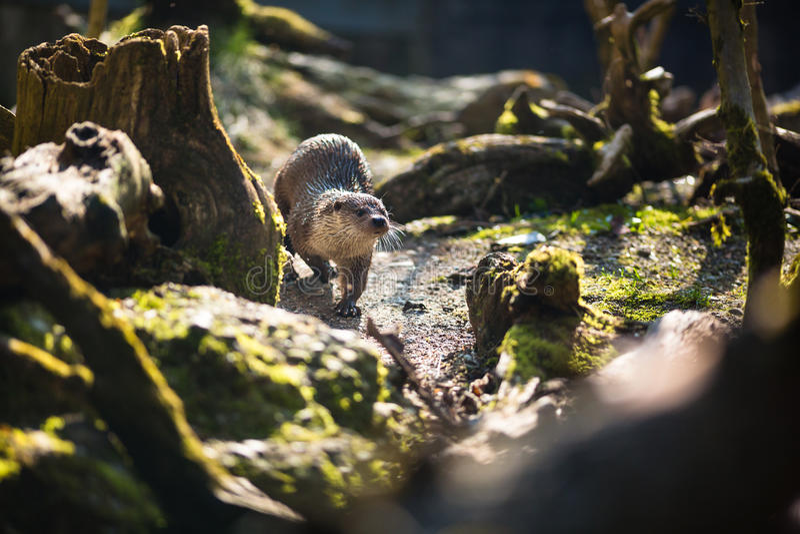 Europees-Aziatische otter (Lutra-lutra) royalty-vrije stock fotografie