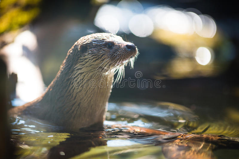 Europees-Aziatische otter (Lutra-lutra) stock foto