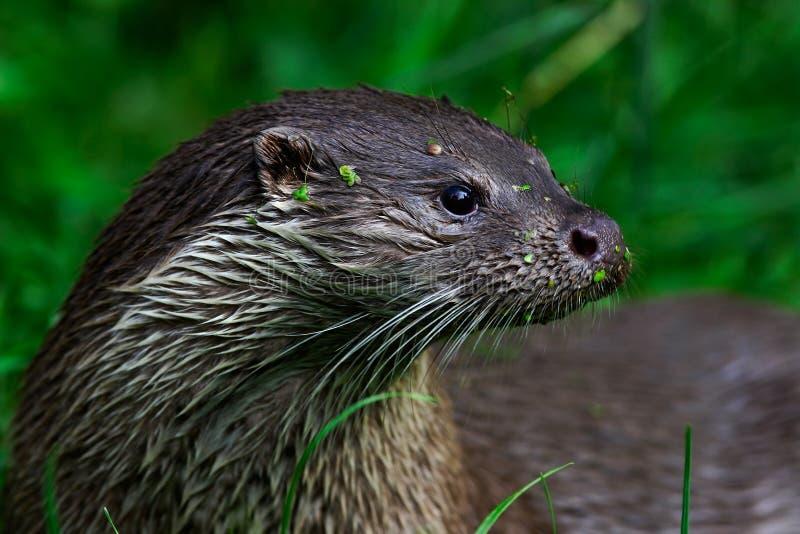 Europees-Aziatische otter, Lutra-lutra, het waterdier van het detailportret in de aardhabitat, Duitsland stock afbeelding